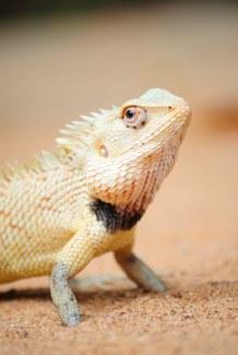A posing Chameleon