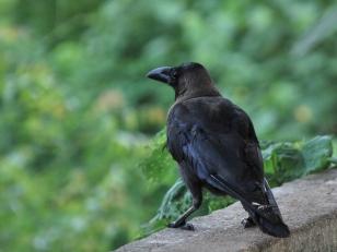 Common Crow at my backyard