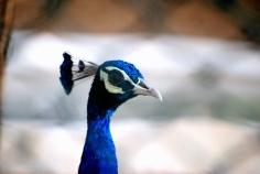 Indian Peacock, Guindy National Park, Chennai