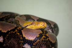 Reticulated Python, Snake Park, Chennai