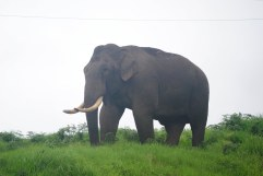 An Elephant on the roadside In Munnar