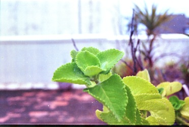 Ajwain leaves in my Terrace