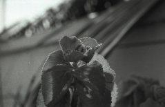 Ajwain Leaves